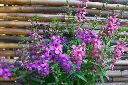 Say mê lòng người với loài hoa ngọc hân