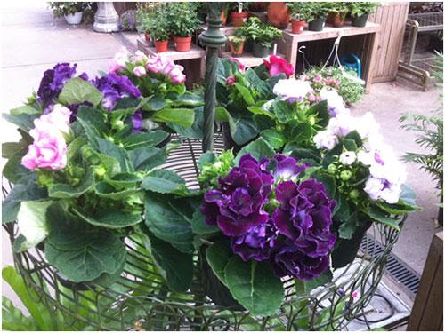 Hoa tử la lan – Hoa chuông tình yêu
