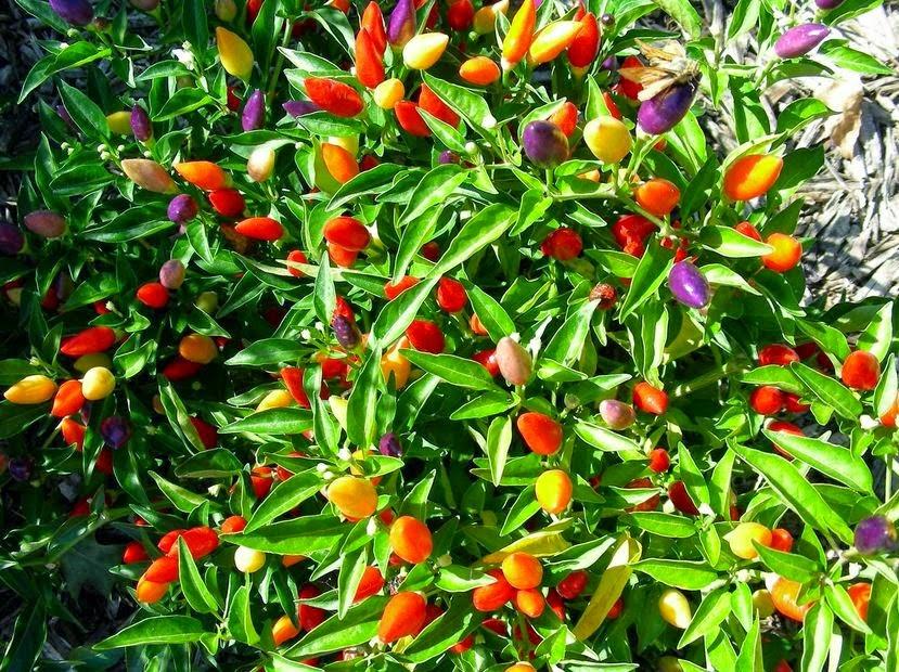 Cơn sốt trồng ớt ngũ sắc của các nàng nội trợ