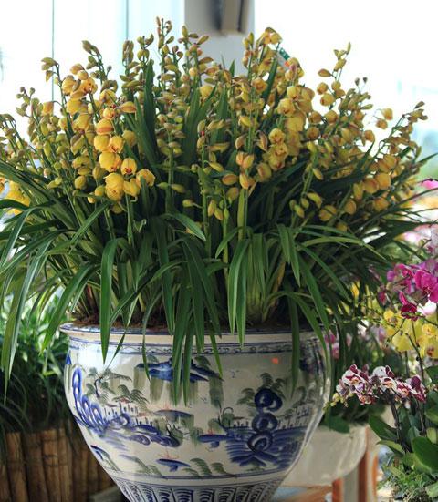 Tìm hoa địa lan chưng tết đẹp