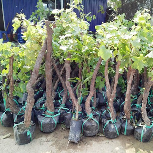 Tìm mua và trồng cây gốc nho giống Ninh Thuận