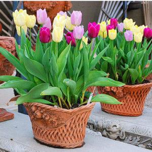 chau-hoa-tulip-gia-re-3