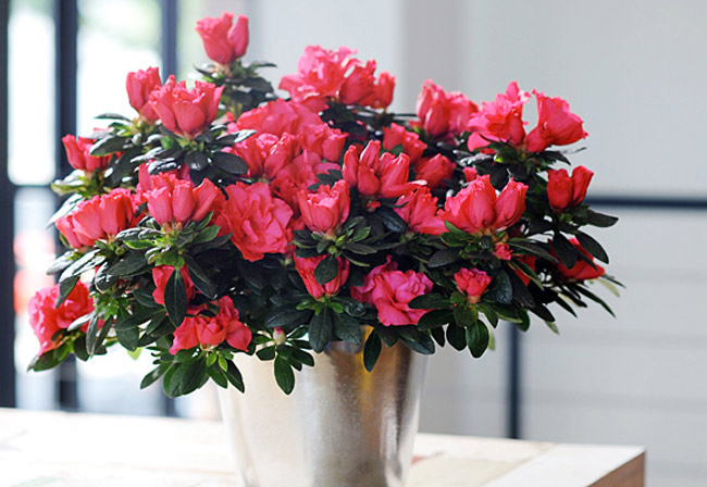 Cây hoa đỗ quyên mang lại tài vận may mắn cho gia chủ