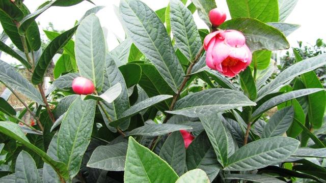 Hoa hải đường hoa đẹp ngày tết