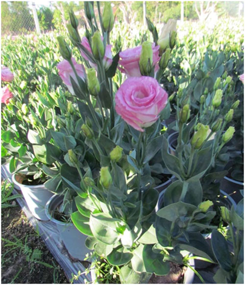 Hoa như ý cát tường mang đem đến thành công và may mắn