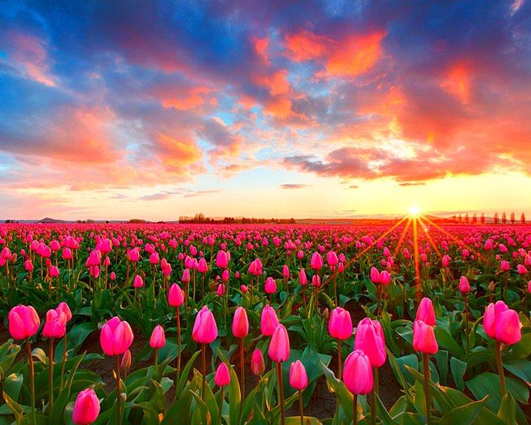 Cay-hoa-tulip