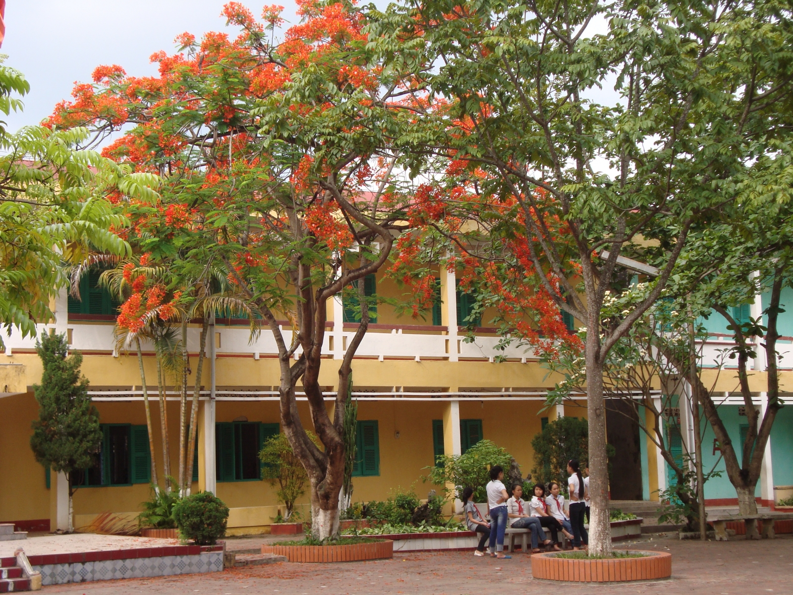 Cay-phuong-vi-bieu-tuong-gan-lien-voi-tuoi-hoc-tro-2
