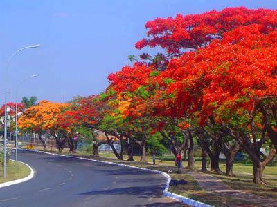 Cay-phuong-vi-bieu-tuong-gan-lien-voi-tuoi-hoc-tro
