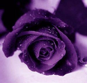 ban-hoa-hong-violet-1