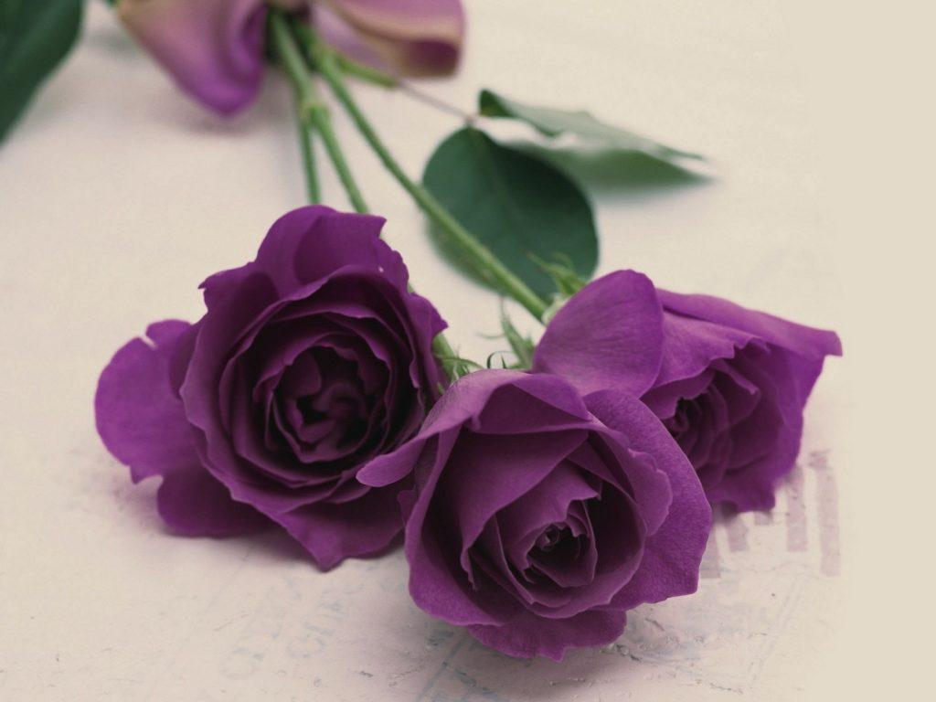 Hoa hồng Violet