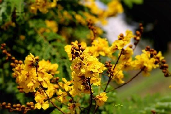 Hoa lim xẹt nở rộ có sắc vàng rực rỡ nổi bật
