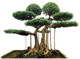cay-sanh-dang-bonsai-1