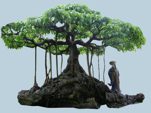 cay-sanh-dang-bonsai-2