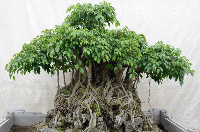 cay-sanh-dang-bonsai