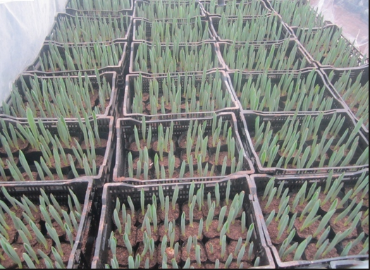 hat-giong-hoa-tulip-1