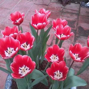 hat-giong-hoa-tulip