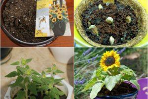 kinh nghiem trong cay hoa hương dương 4