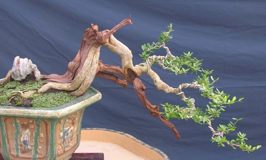 uu-diem-cua-cay-linh-sam-dang-bonsai-dep-1