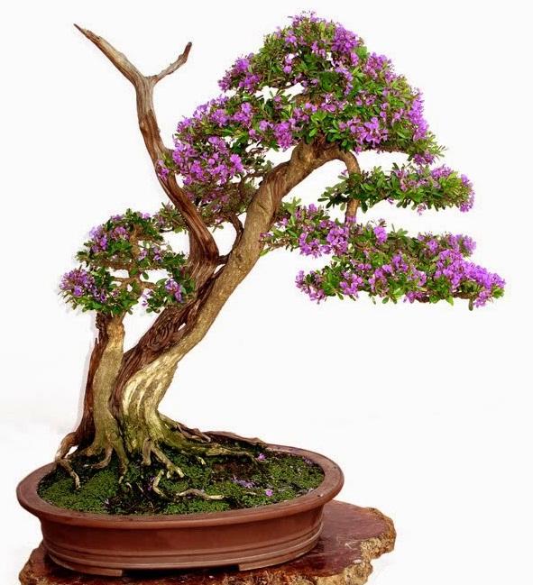 uu-diem-cua-cay-linh-sam-dang-bonsai-dep